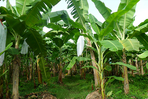 finca-de-banano